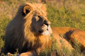 Authenic South Africa - Cape Town & Greater Kruger Park lion