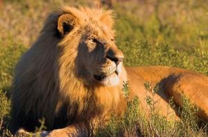 male-lion2