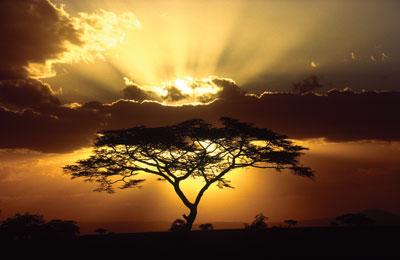 Acasia Tree at Sunset