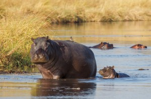 Royal Botswana Safari with Victoria Falls hippo