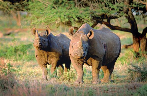 black-rhinos