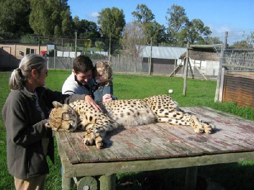 Cheetah Outreach cheetah petting