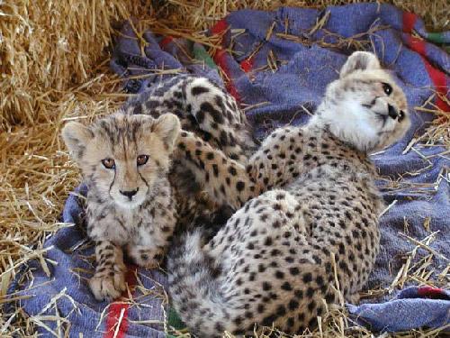 Cheetah Outreach two cheetahs