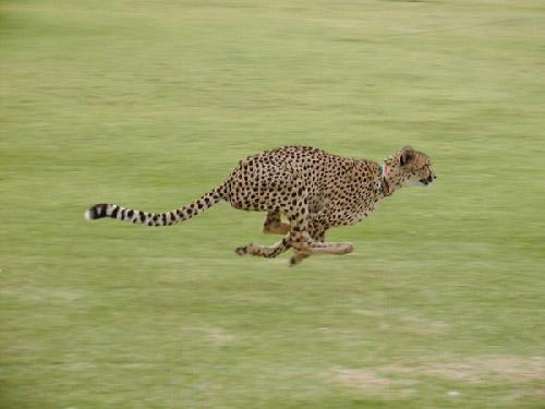 Cheetah Outreach running cheetah