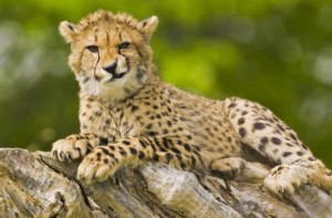 cheetah-smirking