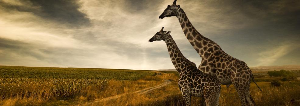 giraffes-over-horizon985x350