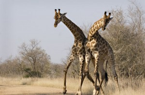Safari with Mozambique Mystique giraffes