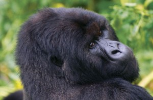 Rwanda Gorilla Trekking: gorilla close-up