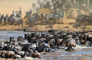 Safaris visiting Tanzania: the great migration
