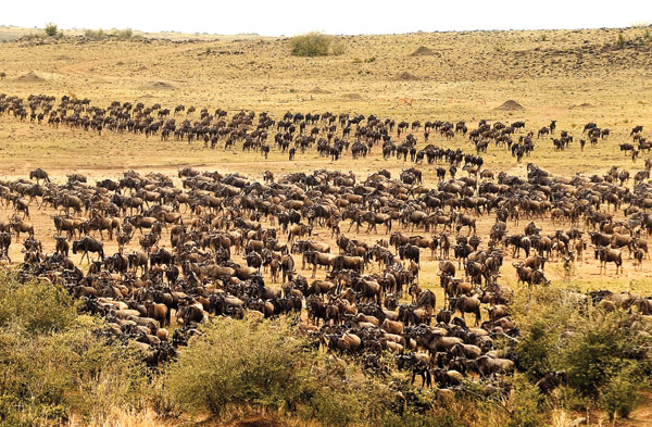 Great Tanzania Wing Safari wildebeest