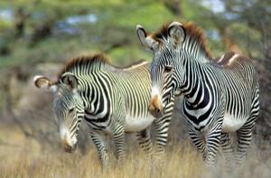 Classic Wing Safari Kenya zebra Samburu