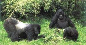 Silverback gorilla family