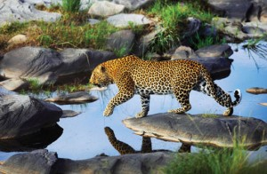leopard crossing a river great south africa safaris