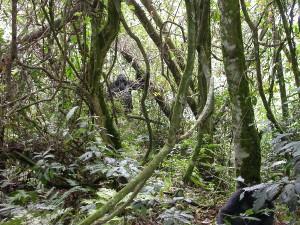 Uganda Discovery Safari Bwindi Impenetrable Forest gorilla