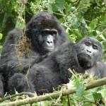 Gorilla & Wildlife - Big 5 Safari - 7 Days