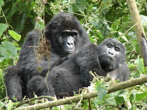 Uganda Discovery Safari gorillas in Bwindi
