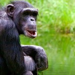 Uganda Primate Adventure chimpanzee
