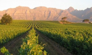 Full Day Cape WInelands tour Klein Zalze vineyard