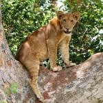 safaris visiting Uganda tree-climbing lion