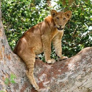 Kenya & Tanzania Overland Adventure tree-climbing lion