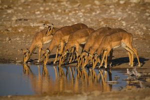 safaris visiting Namibia Etosha Pan impala