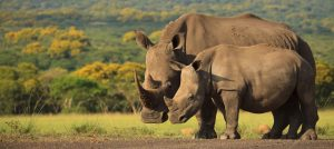 Rhinos in Thanda Safari Private Game Reserve Zululand Express Safari