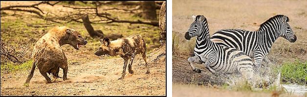 The Great Southern Safari hyena wild dog zebra