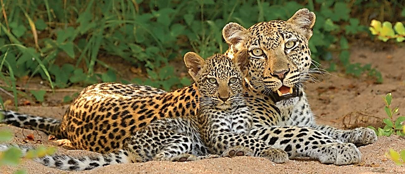 The Great Southern Safari leopard with cub