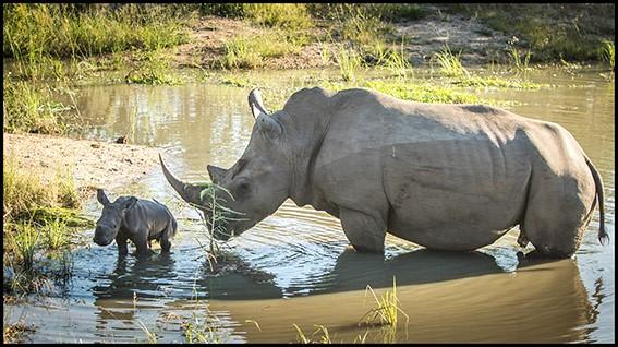 The Great Southern Safari rhino with young