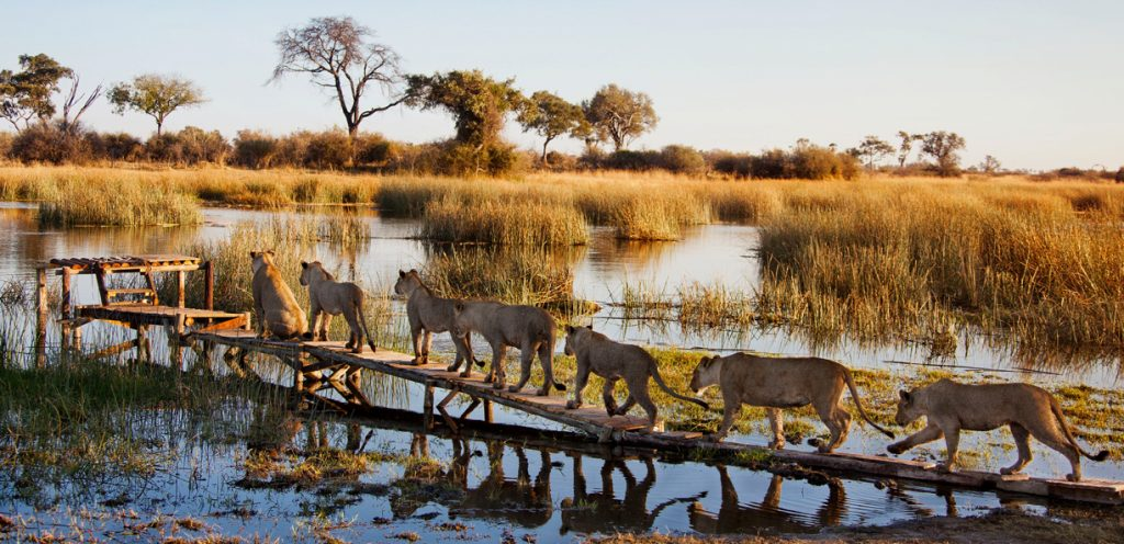 Royal Botswana Safari with Victoria Falls lion pride