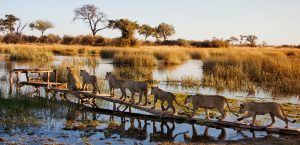Royal Botswana Safari lion pride