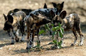 Royal Botswana Safari wild dogs