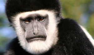 Uganda Explore with Gorilla Trekking black and white colobus monkey