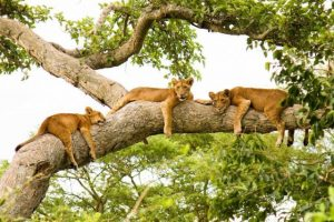 Uganda Wildlife, Gorilla & Chimpanzee Adventure tree climbing lions