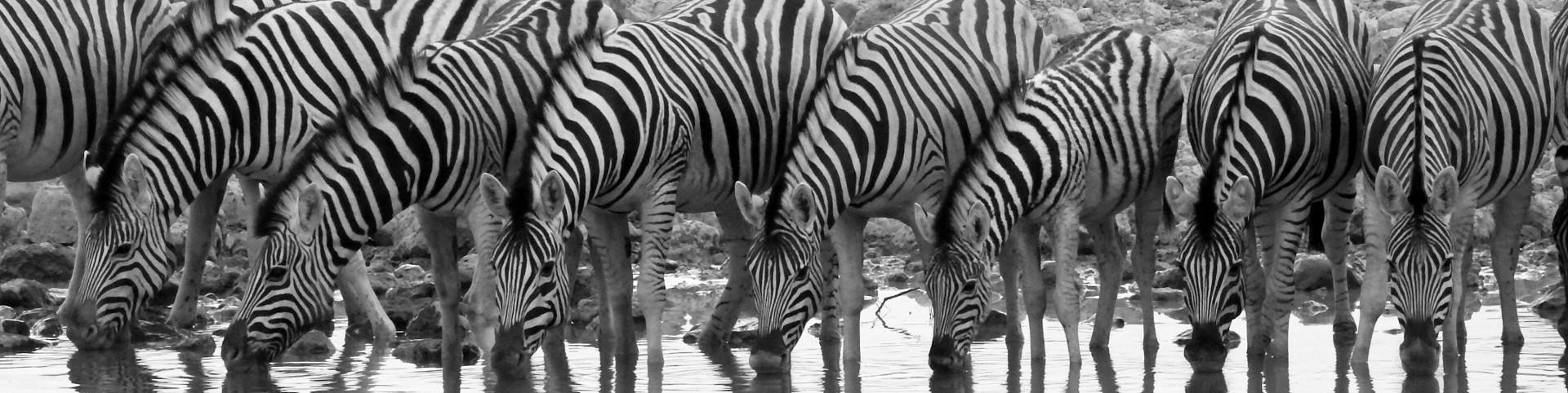 Zebra_drinking_bw_04DSCN7348_1920x482