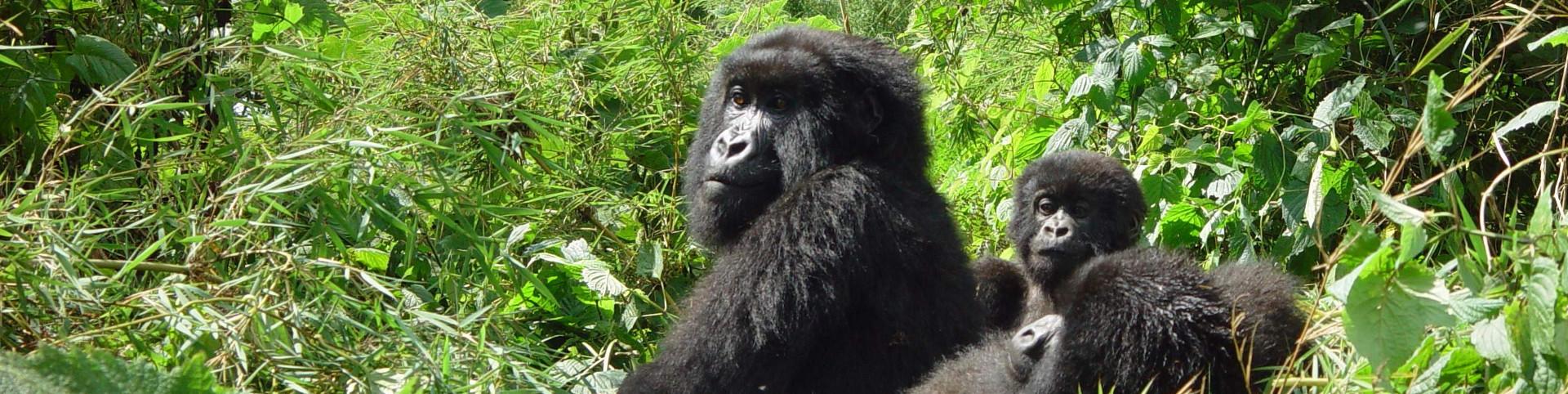 gorilla2_1920x482
