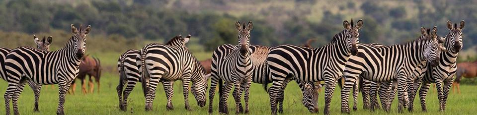 Akagera National Park zebra