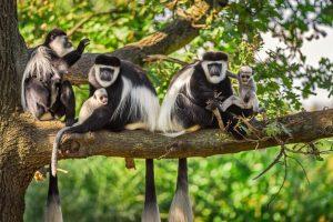 Rwanda Primate & Wildlife Adventure colobus monkeys