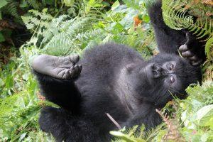 Rwanda Primate & Wildlife Adventure young gorilla Volcanoes National Park